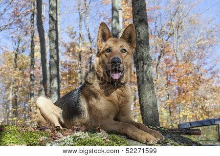 German shepherd posing for the camera