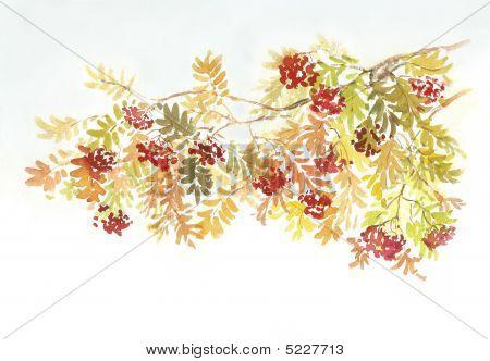 Rowan tree branch