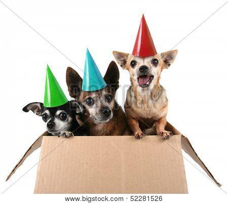 three chihuahuas in a cardboard box