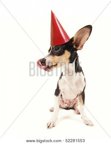 a cute rat terrier chihuahua mix with a red party hat on