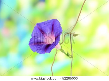 Blue convolvulus (bindweed) flower on nature background