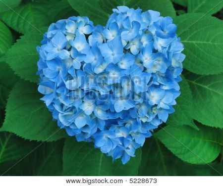 Hortensia en forma de corazón
