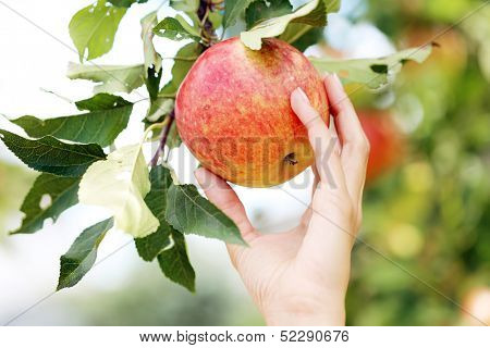 Hand that is touching an apple that is hanging on a tree