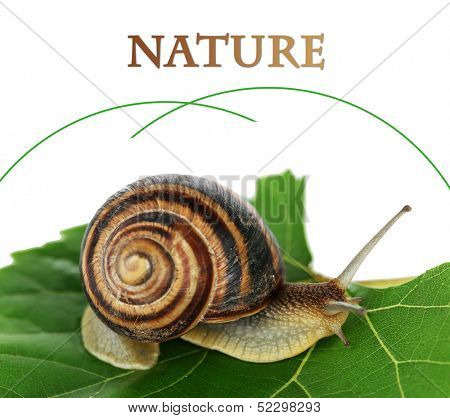 Snail on leaf close-up