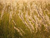 picture of pampa  - A field of grass pampas with the golden hues of a sunset.