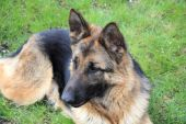 pic of bloodhound  - German shepherd dog is very smart loyal one of the best breeds of dogs - JPG