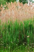 foto of australie  - Common Reed Phragmites Australis is a tall and often invasive perennial member of the grass family seen here standing over seven feet high - JPG