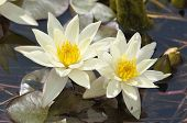 Dwarf Yellow Water-lily