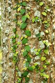 stock photo of english ivy  - Ivy on tree bark - JPG