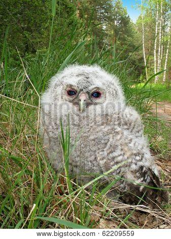Tawny Owl Fledgeling