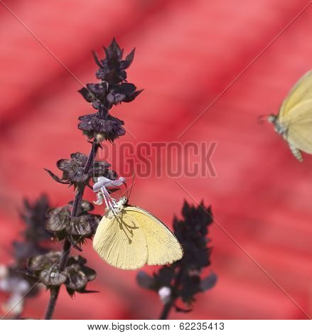 Australian Grass-yellow Butterfly Eurema