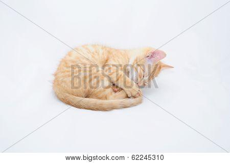 Foxy Kitten Curled