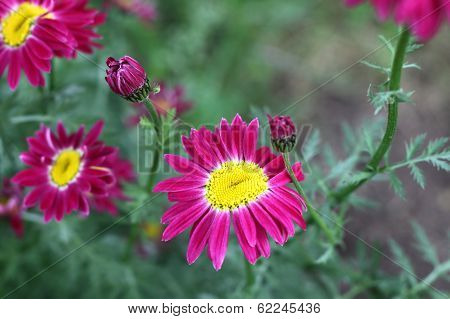 Beautiful Pyrethrum Flowers