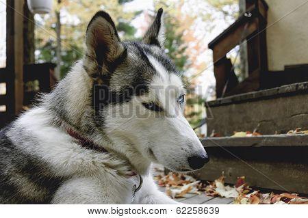 Sled Husky Dog With Blue Eyes