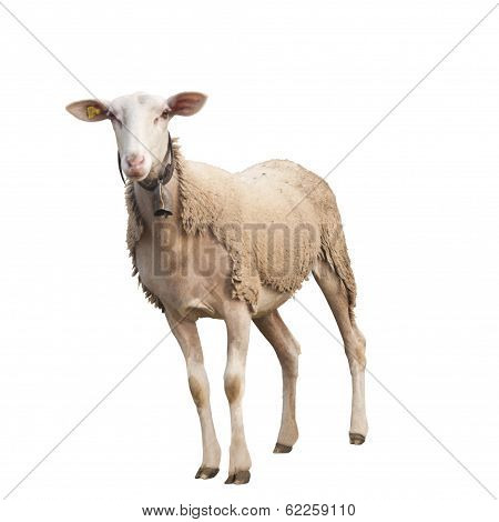 Isolated Sheep with Ear Chip