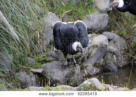 Female Andean Condor Next to Water