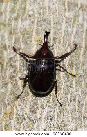 xylotrupes sumatrensis beetle
