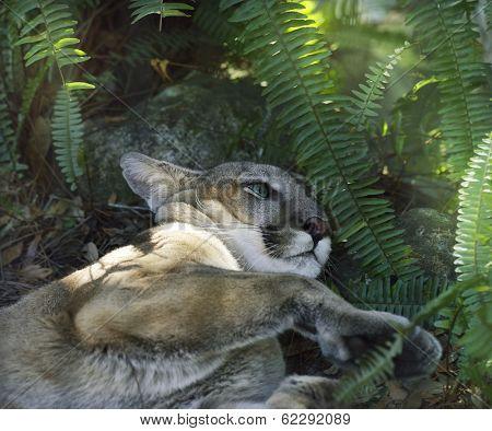 A North American Cougar (Puma concolor) Resting Under Shady Tree
