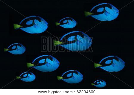Bank of blue tang fish