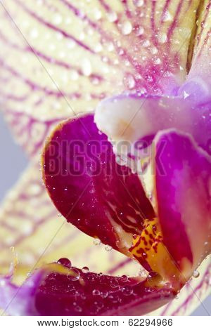 Water Perls On A Orchid