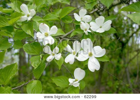 White Dogwood Tree - 1