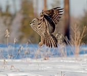 picture of snow owl  - The Owl launches itself skyward shortly after a snow - JPG