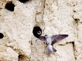 pic of mink  - Swifts build jack in mink on coast of the rivers - JPG