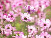 picture of cosmos flowers  - Close up Cosmos Flowers - JPG