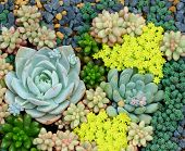 pic of rosettes  - Miniature succulent plants - JPG