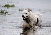The dog of breed husky bathed in the lake.
