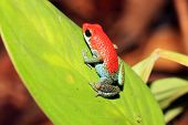 Постер, плакат: Strawberry Poison dart Frog