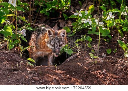 Grey Fox (urocyon Cinereoargenteus) Emerges From Den