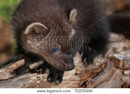 Young Fisher (martes Pennanti) On Log