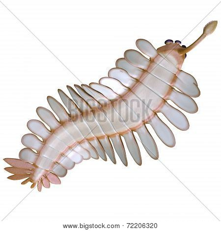 Cambrian Opabinia Underside