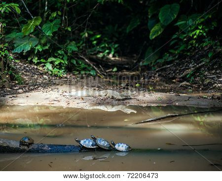 Wild Cayman And Turtles In Ecuadorian Amazonia, Misahualli