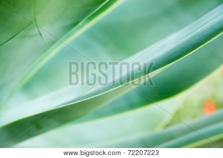Abstract Leaves Agave Attenuata