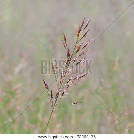 Gold Beard Grass. Chrysopogon Aciculatus (retz.) Trin