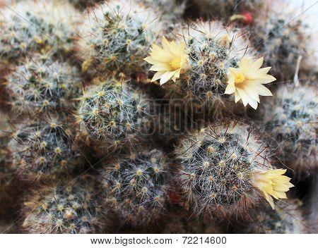 Mammilyariya otpryskonosnaya. cactus blooming