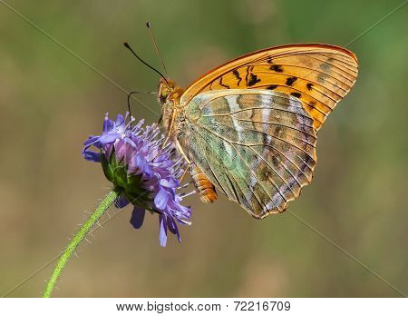 Silver-washed Fritillary With Closed Wings