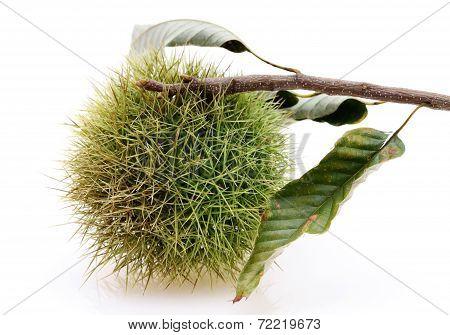 branch of chestnuts bur