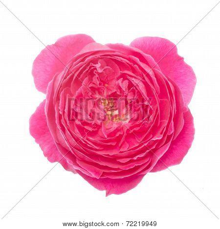 Damask Rose Isolated On White Background
