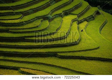 Rice fields on terraced in sunset at Mu Cang Chai, Yen Bai, Vietnam.