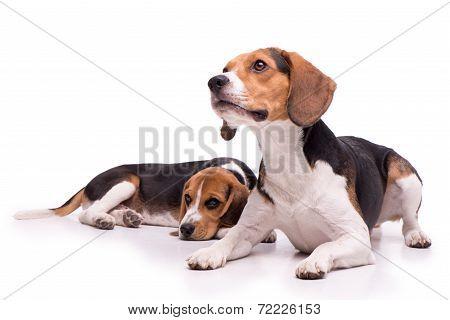 Two beautiful Beagles lying