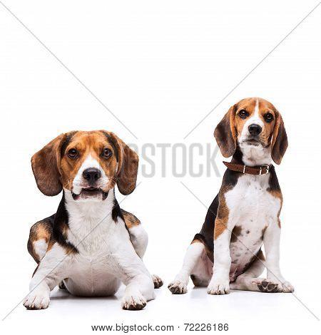 Two beautiful Beagles sitting