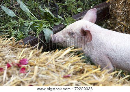 Baby Piglet Bales Of Hay