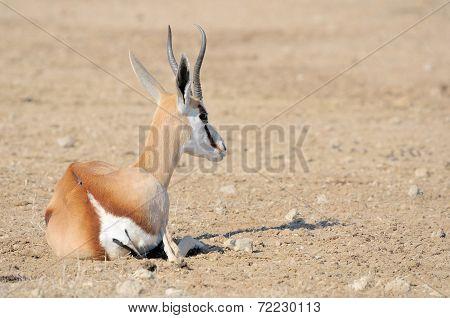 Springbok Lying