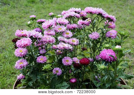 Sunlit Fine Asters In The Flowerbed