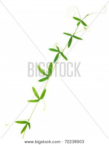 Green Passionflower Tendril Closeup Is Isolated On White Background