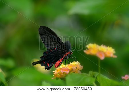 Red-bodied Swallowtails Butterfly