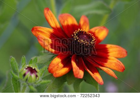 Close up of beautiful Zinnia flower